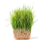 Green grass with exposed grass roots with a white background.